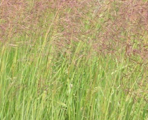 Bluedale Wholesale Nursery re-vegetation grass