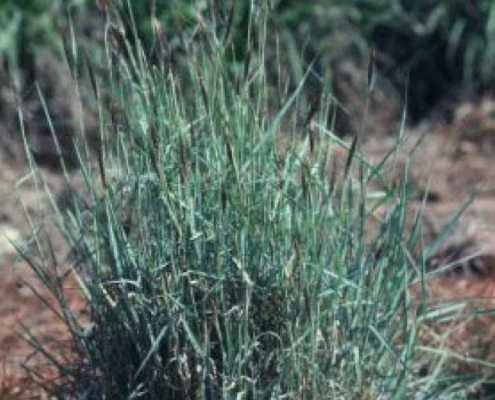 Bluedale Wholesale Nursery - re-vegetation grass