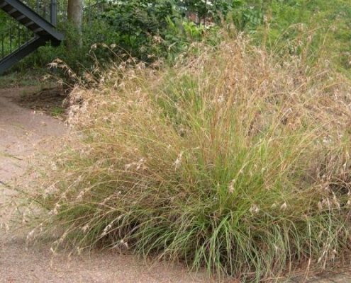 Native grasses from Bluefdale Wholesale Nursery