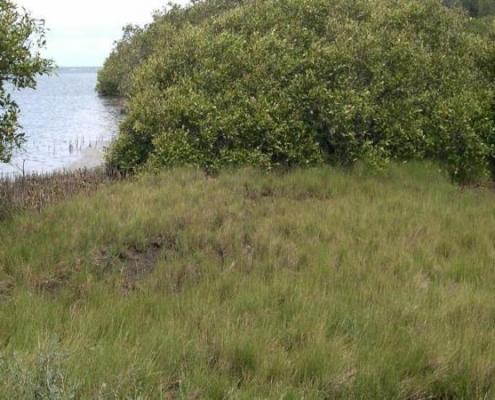 Bluedale Wholesale Nursery - native coastal grasses