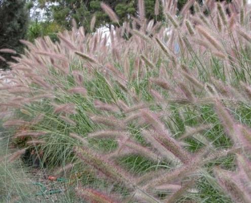Bluedale Wholesale Nursery - native grasses