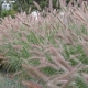 Bluedale Wholesale Nursery - native grasses