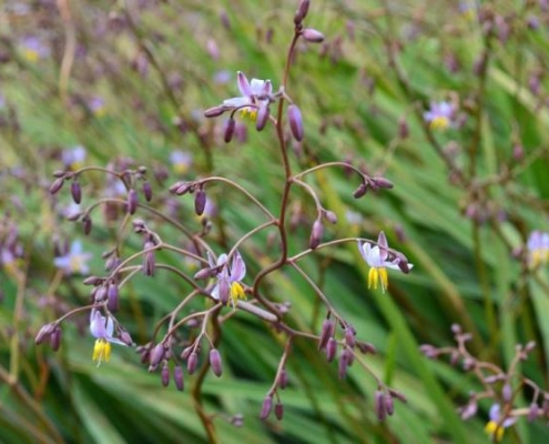 Bluedale wholesale nursery - strappy leaf plants - Dianella