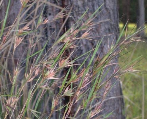 Bluedale Wholesale Nursery - native grass