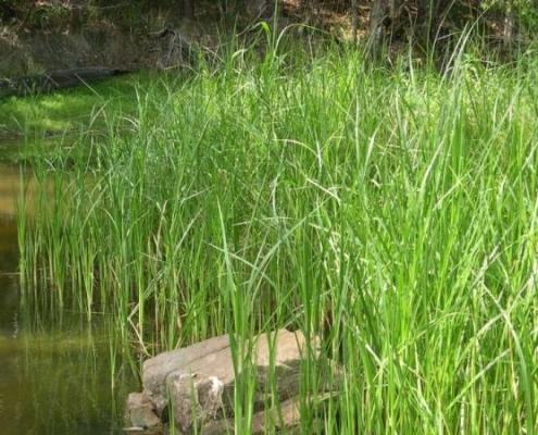 BLUEDALE WHOLESALE NURSERY - WETLAND PLANTS