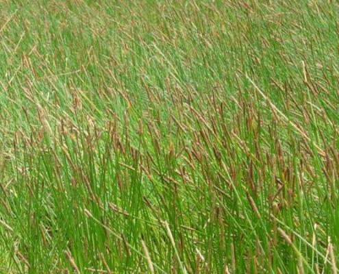 wetland plants - Bluedale wholesale nursery