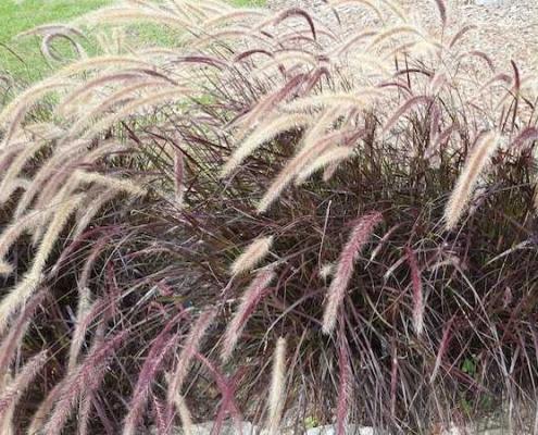 Bluedale Wholesale Nursery - wholesale native grasses