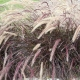 Bluedale Wholesale Nursery - wholesale native grasses