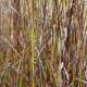 Bluedale Wholesale Nursery - wetland plant