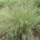 Poa Labillardieri Common Tussock Grass - Grasses - Bluedale Wholesale Nursery