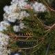 Melaleuca sieberi - Paperbark - Bluedale Wholesale Nursery