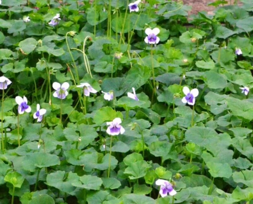 Viola hederacea - Native Violet - Bluedale Wholesale Nursery - Ground COver