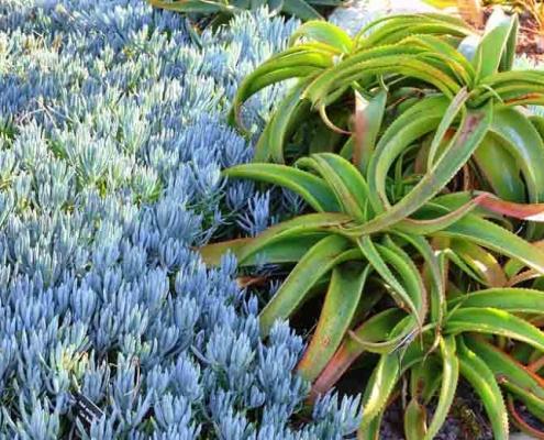 senecio mandraliscae - Shrub - Bluedale Wholesale Nursery