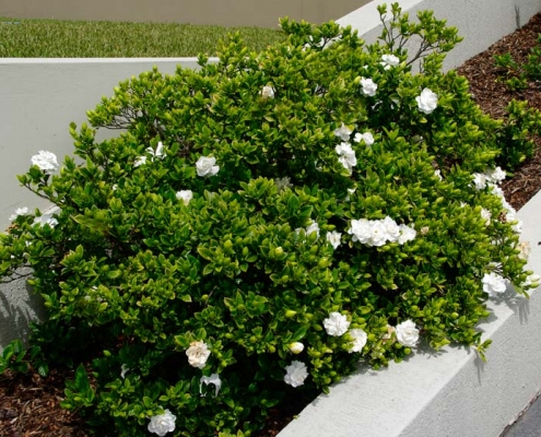 Gardenia augusta Florida - Bluedale Wholesale Nursery - Shrub