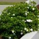 Gardenia augusta Florida - Bluedale Wholesale Nursery - Shrub