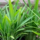 Dianella Streetscape TM - Flax Lily 6 - Bluedale Wholesale Nursery