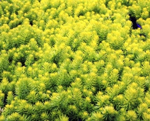 Sedum rupestre - Sedum Gold Mound - Bluedale Wholesale Nursery - Ground Cover