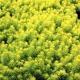 Sedum rupestre - Sedum Gold Mound- Bluedale Wholesale Nursery - Ground Cover