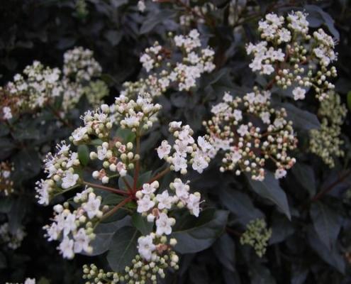 viburnum tinus - Bluedale Wholesale Nursery - Shrub